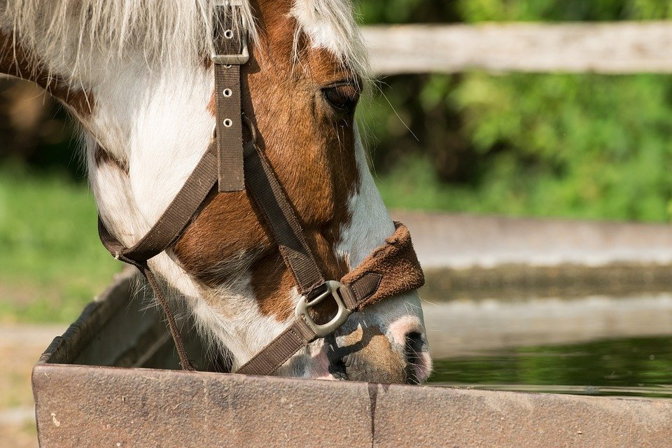 Horse drinking water from trough
